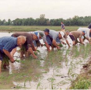 Plantaciones arroz en Pals